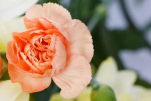 carnation_flower2