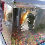 金魚が最適なペットの7つの理由~♪